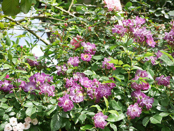 ブルーランブラー(Blue Rambler)の花が増えてきた。ツルバラ。2021年-015.jpg