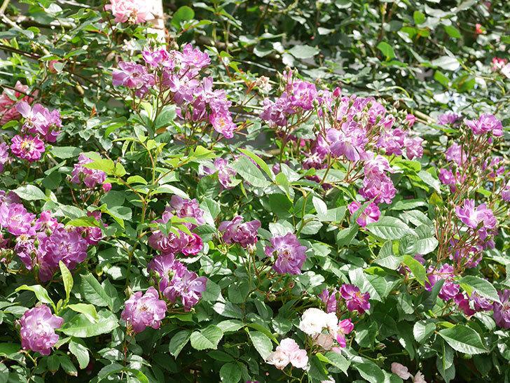 ブルーランブラー(Blue Rambler)の花が増えてきた。ツルバラ。2021年-016.jpg