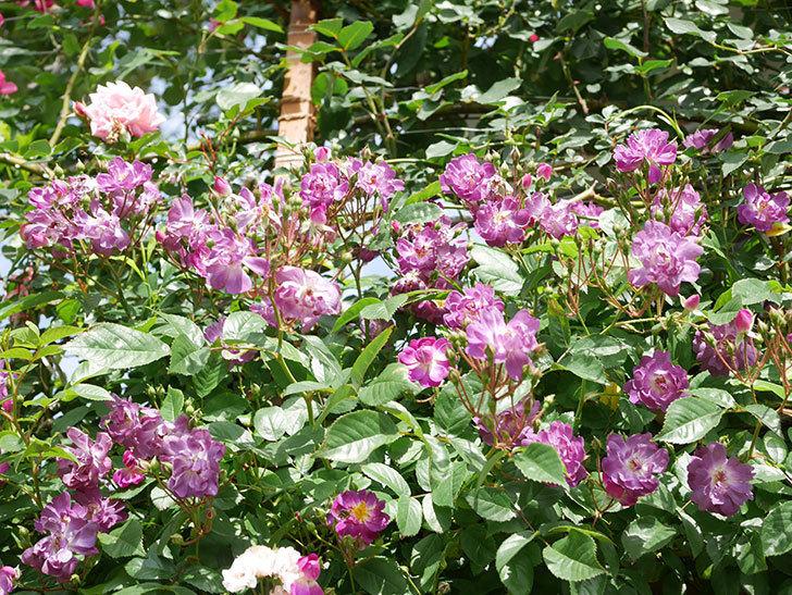 ブルーランブラー(Blue Rambler)の花が増えてきた。ツルバラ。2021年-018.jpg