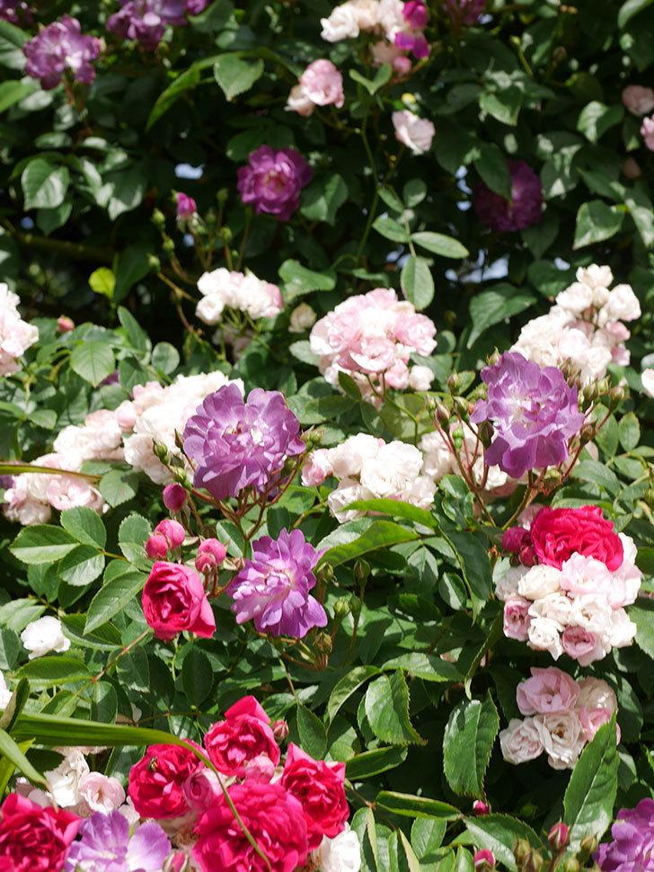ブルーランブラー(Blue Rambler)の花が増えてきた。ツルバラ。2021年-019.jpg