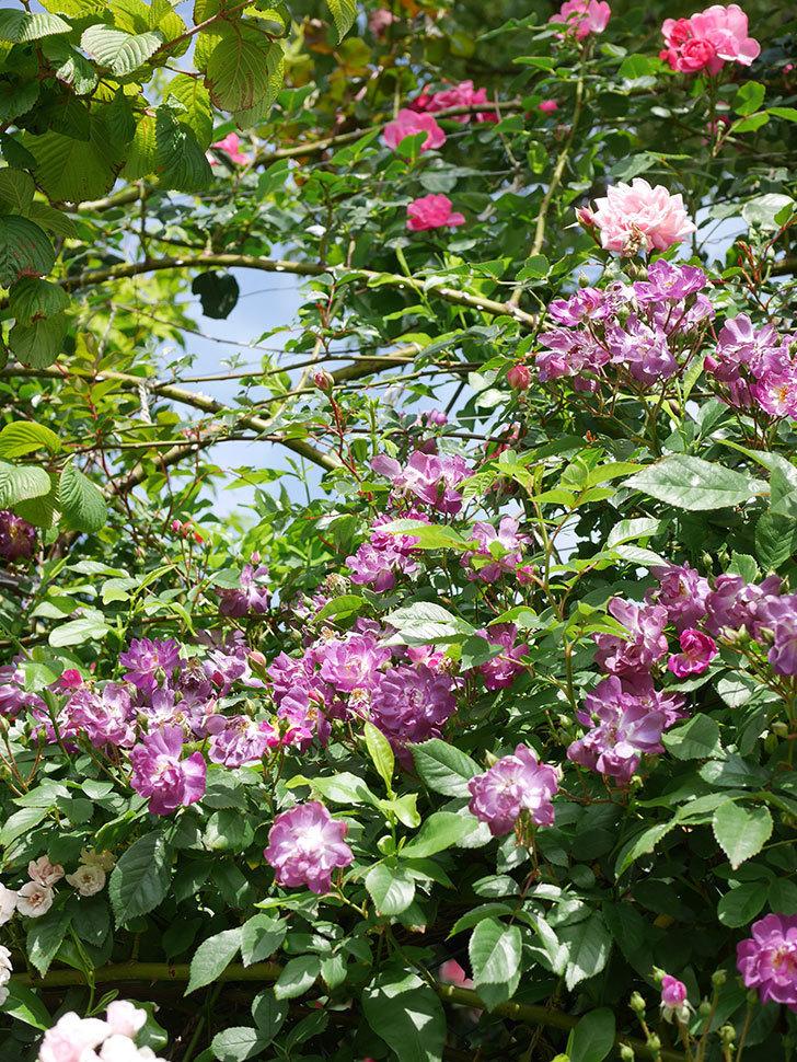 ブルーランブラー(Blue Rambler)の花が増えてきた。ツルバラ。2021年-020.jpg
