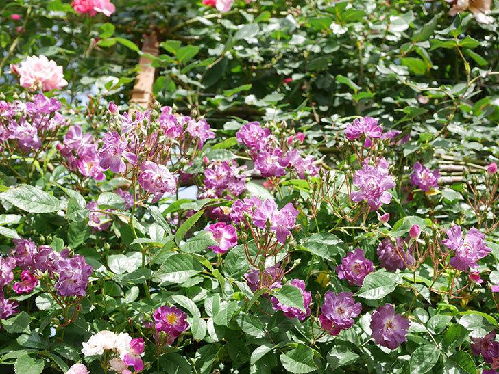 ブルーランブラー(Blue Rambler)の花が増えてきた。ツルバラ。2021年-021.jpg
