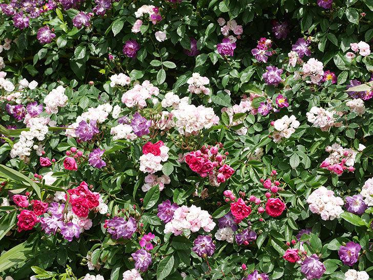ブルーランブラー(Blue Rambler)の花が増えてきた。ツルバラ。2021年-022.jpg