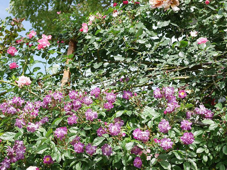 ブルーランブラー(Blue Rambler)の花が増えてきた。ツルバラ。2021年-023.jpg