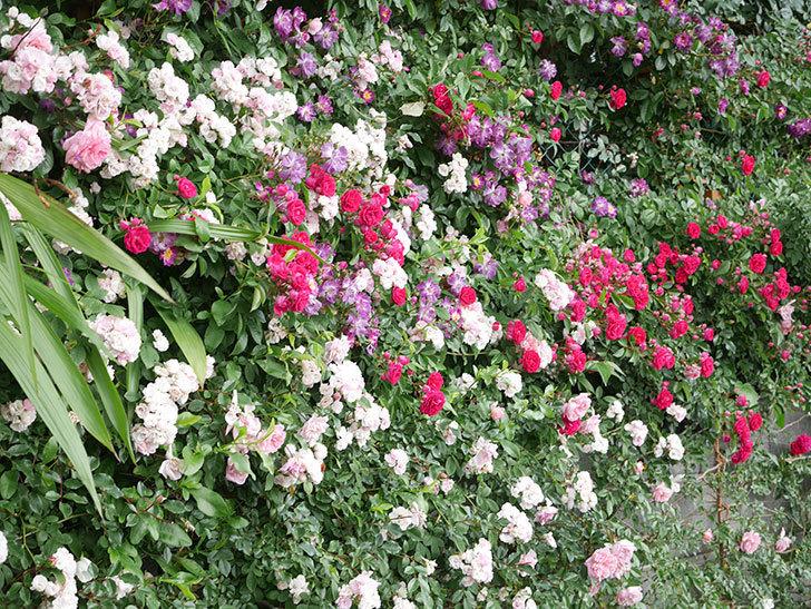 ブルーランブラー(Blue Rambler)の花が増えてきた。ツルバラ。2021年-024.jpg