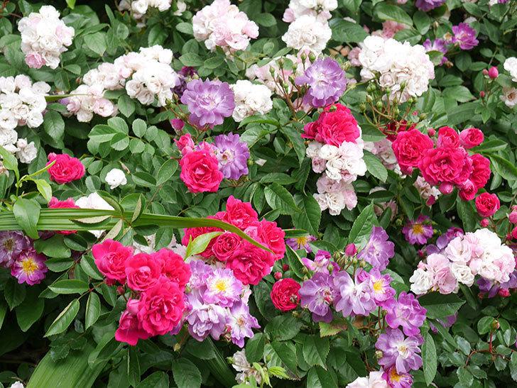 ブルーランブラー(Blue Rambler)の花が増えてきた。ツルバラ。2021年-026.jpg
