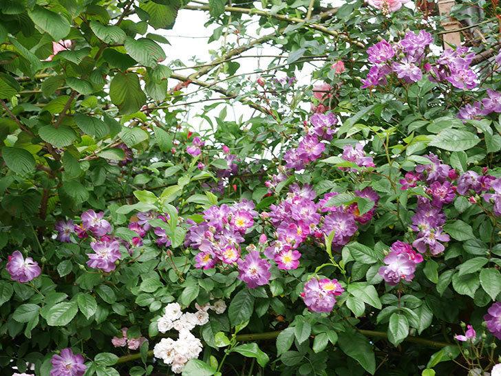 ブルーランブラー(Blue Rambler)の花が増えてきた。ツルバラ。2021年-027.jpg