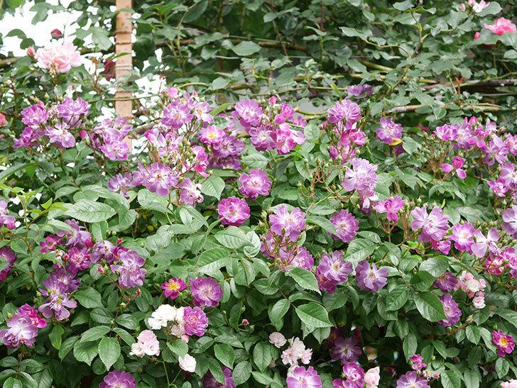 ブルーランブラー(Blue Rambler)の花が増えてきた。ツルバラ。2021年-028.jpg