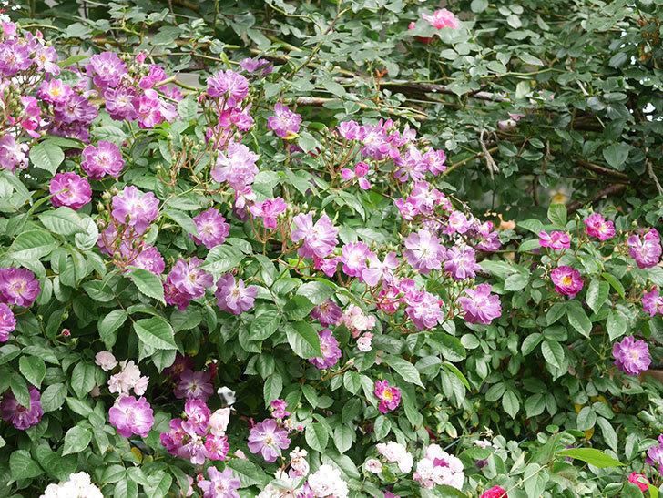 ブルーランブラー(Blue Rambler)の花が増えてきた。ツルバラ。2021年-029.jpg