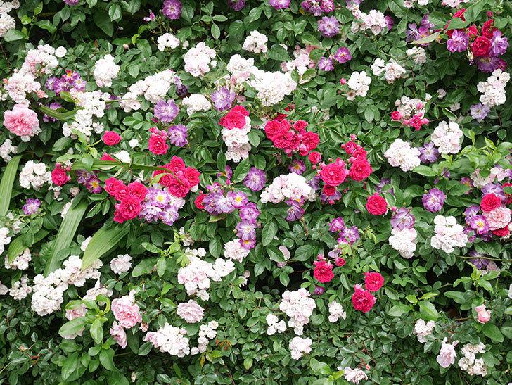 ブルーランブラー(Blue Rambler)の花が増えてきた。ツルバラ。2021年-030.jpg