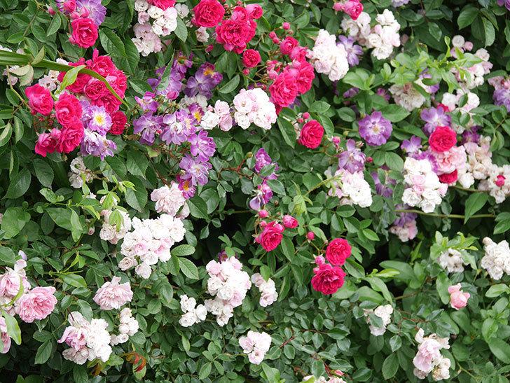 ブルーランブラー(Blue Rambler)の花が増えてきた。ツルバラ。2021年-032.jpg