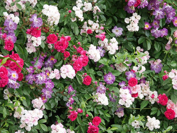 ブルーランブラー(Blue Rambler)の花が増えてきた。ツルバラ。2021年-033.jpg