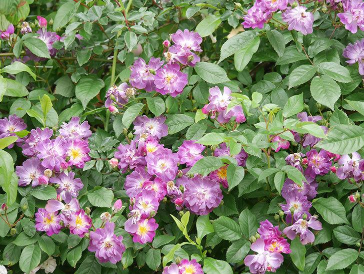 ブルーランブラー(Blue Rambler)の花が増えてきた。ツルバラ。2021年-034.jpg