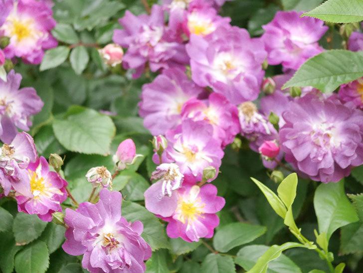 ブルーランブラー(Blue Rambler)の花が増えてきた。ツルバラ。2021年-035.jpg