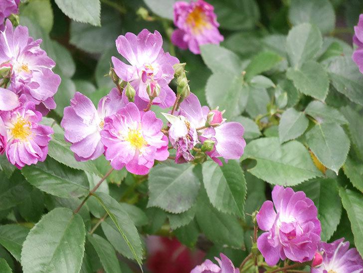 ブルーランブラー(Blue Rambler)の花が増えてきた。ツルバラ。2021年-037.jpg