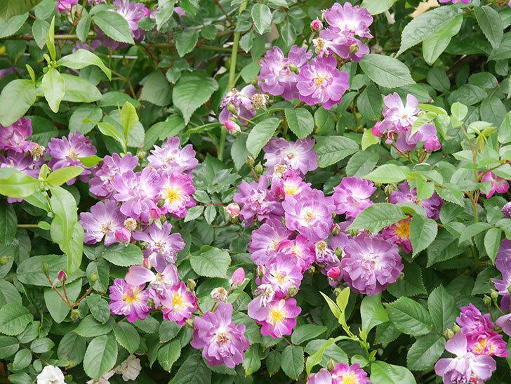 ブルーランブラー(Blue Rambler)の花が増えてきた。ツルバラ。2021年-038.jpg
