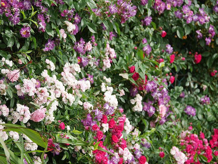 ブルーランブラー(Blue Rambler)の花が増えてきた。ツルバラ。2021年-039.jpg