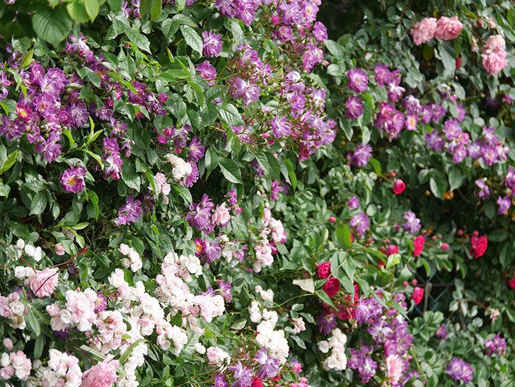 ブルーランブラー(Blue Rambler)の花が増えてきた。ツルバラ。2021年-040.jpg