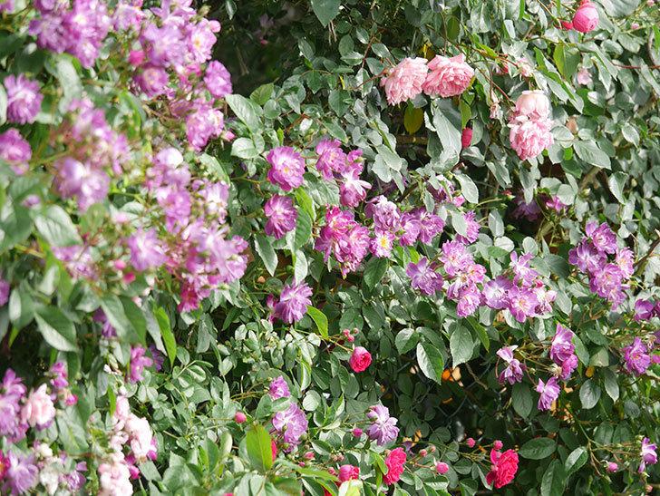 ブルーランブラー(Blue Rambler)の花が増えてきた。ツルバラ。2021年-041.jpg