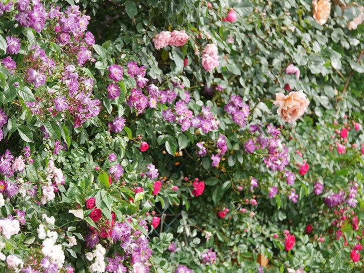 ブルーランブラー(Blue Rambler)の花が増えてきた。ツルバラ。2021年-042.jpg