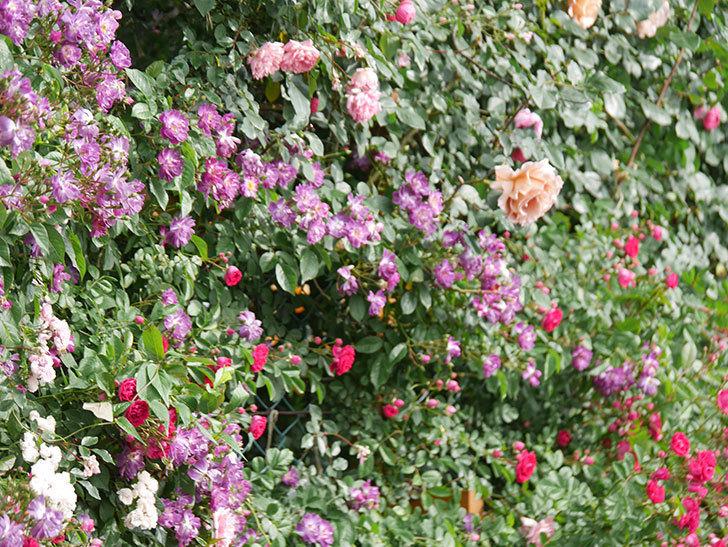 ブルーランブラー(Blue Rambler)の花が増えてきた。ツルバラ。2021年-043.jpg