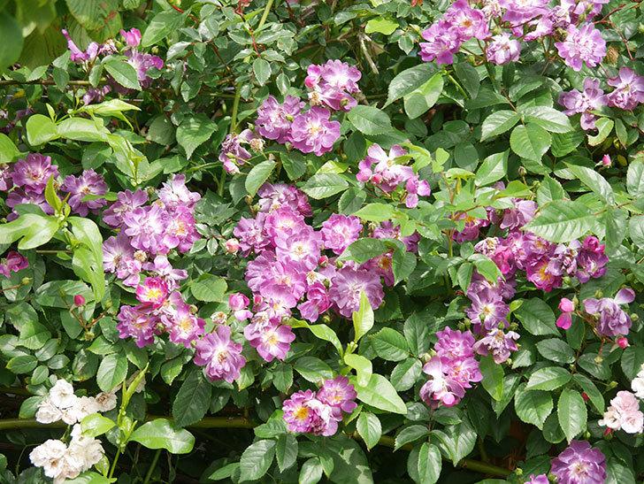 ブルーランブラー(Blue Rambler)の花が増えてきた。ツルバラ。2021年-044.jpg