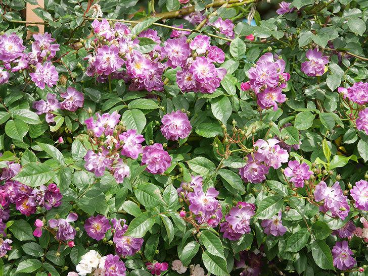 ブルーランブラー(Blue Rambler)の花が増えてきた。ツルバラ。2021年-046.jpg