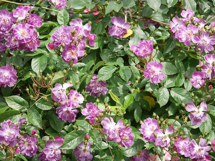 ブルーランブラー(Blue Rambler)の花が増えてきた。ツルバラ。2021年-048.jpg