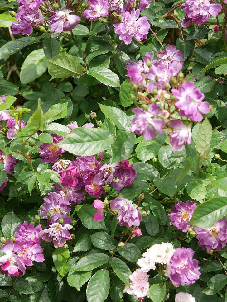 ブルーランブラー(Blue Rambler)の花が増えてきた。ツルバラ。2021年-049.jpg