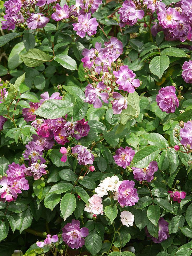 ブルーランブラー(Blue Rambler)の花が増えてきた。ツルバラ。2021年-050.jpg