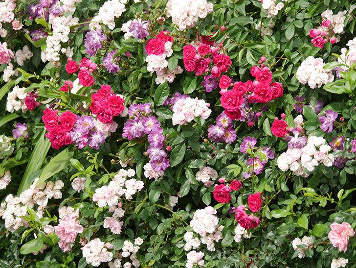 ブルーランブラー(Blue Rambler)の花が増えてきた。ツルバラ。2021年-052.jpg