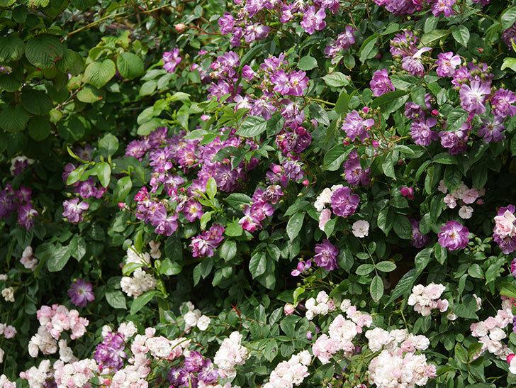 ブルーランブラー(Blue Rambler)の花が増えてきた。ツルバラ。2021年-053.jpg