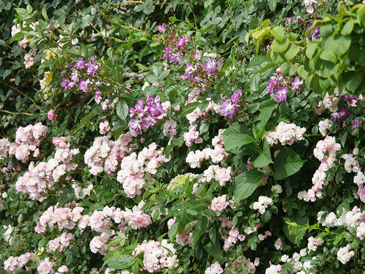 ブルーランブラー(Blue Rambler)の花が増えてきた。ツルバラ。2021年-054.jpg