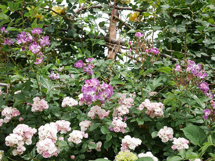 ブルーランブラー(Blue Rambler)の花が増えてきた。ツルバラ。2021年-056.jpg
