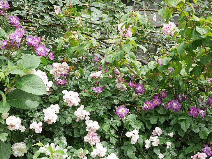ブルーランブラー(Blue Rambler)の花が増えてきた。ツルバラ。2021年-057.jpg