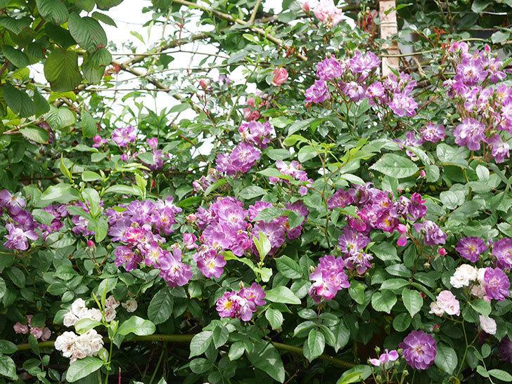 ブルーランブラー(Blue Rambler)の花が増えてきた。ツルバラ。2021年-058.jpg