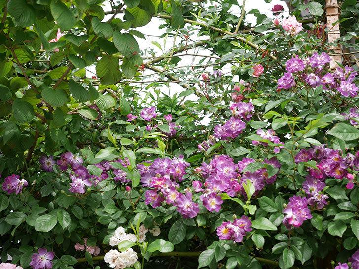 ブルーランブラー(Blue Rambler)の花が増えてきた。ツルバラ。2021年-059.jpg