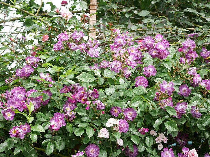 ブルーランブラー(Blue Rambler)の花が増えてきた。ツルバラ。2021年-060.jpg