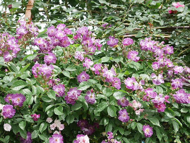 ブルーランブラー(Blue Rambler)の花が増えてきた。ツルバラ。2021年-062.jpg