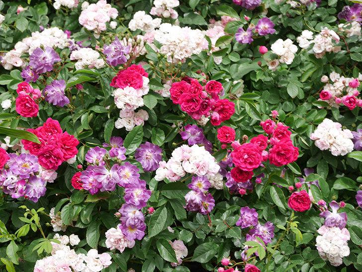 ブルーランブラー(Blue Rambler)の花が増えてきた。ツルバラ。2021年-063.jpg