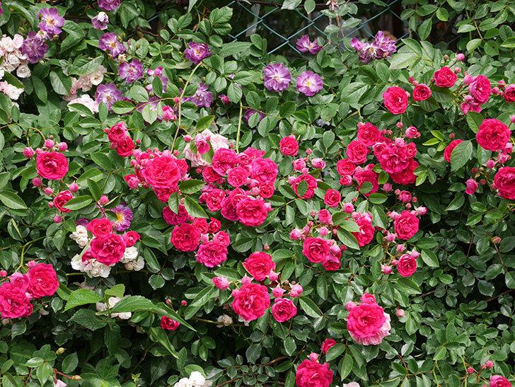 ブルーランブラー(Blue Rambler)の花が増えてきた。ツルバラ。2021年-064.jpg