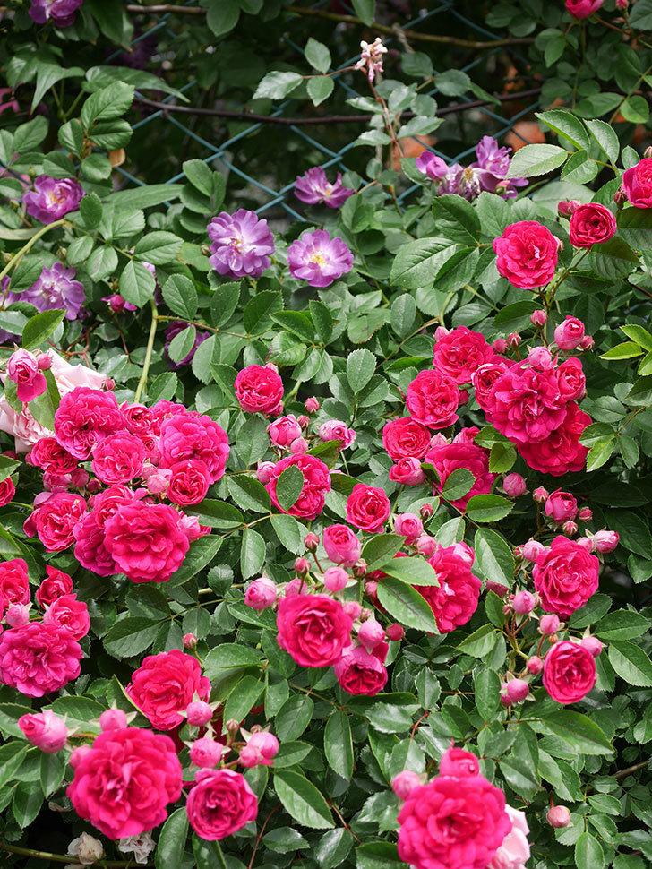 ブルーランブラー(Blue Rambler)の花が増えてきた。ツルバラ。2021年-065.jpg