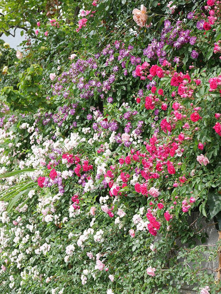 ブルーランブラー(Blue Rambler)の花が増えてきた。ツルバラ。2021年-066.jpg