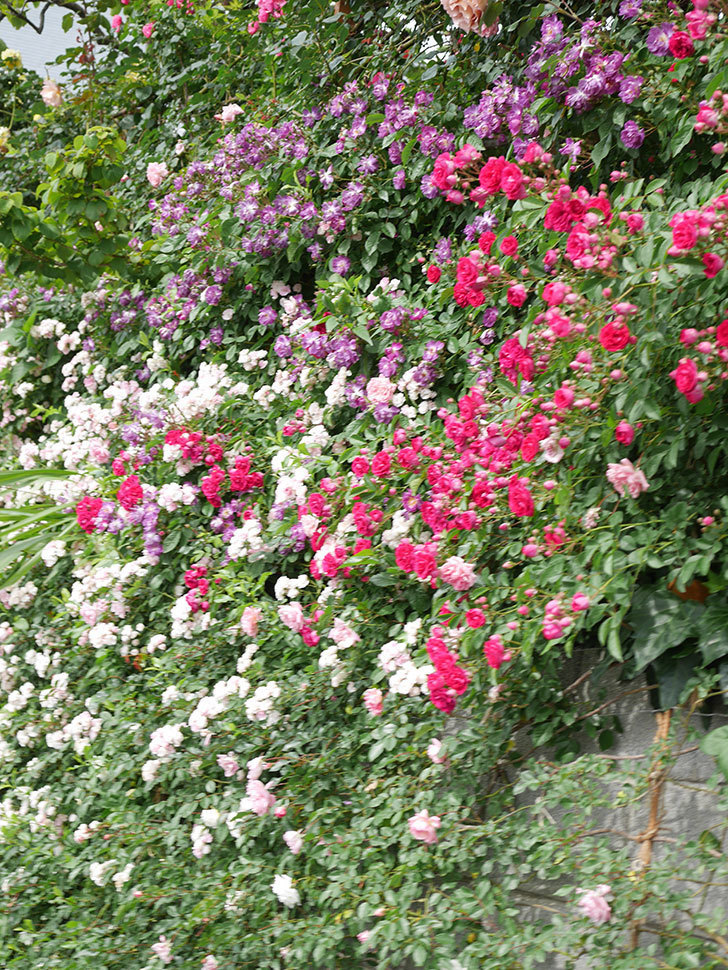 ブルーランブラー(Blue Rambler)の花が増えてきた。ツルバラ。2021年-067.jpg