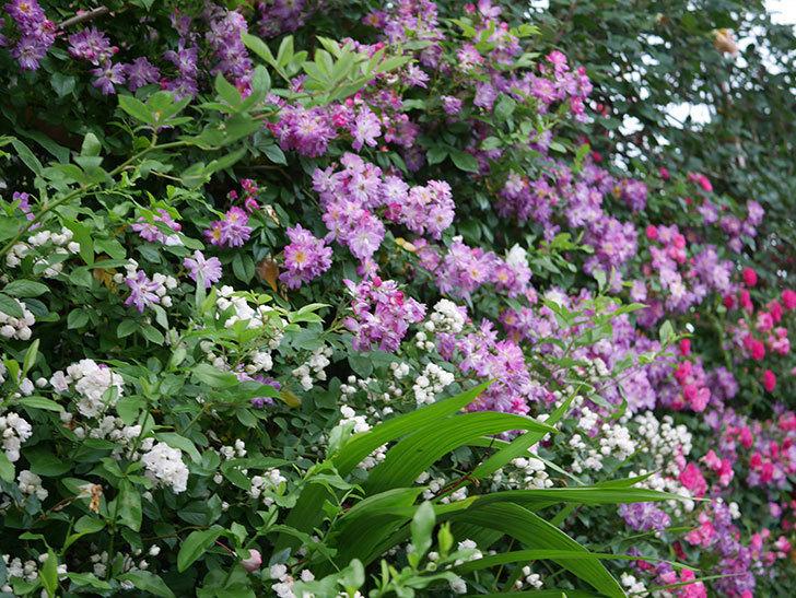 ブルーランブラー(Blue Rambler)の花が満開になった。ツルバラ。2020年-001.jpg