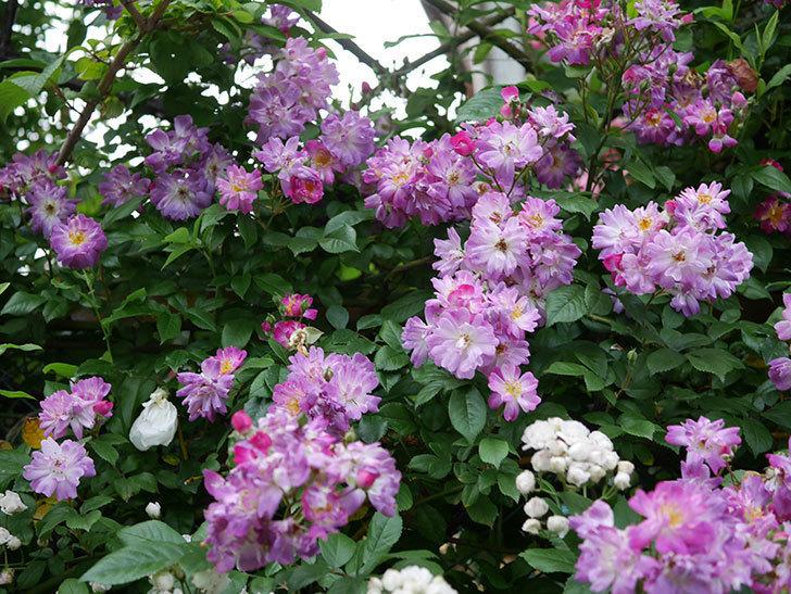 ブルーランブラー(Blue Rambler)の花が満開になった。ツルバラ。2020年-002.jpg