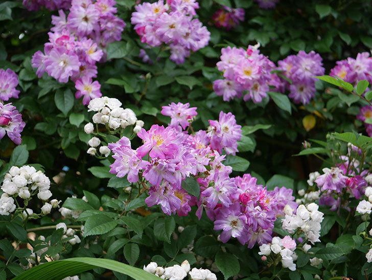 ブルーランブラー(Blue Rambler)の花が満開になった。ツルバラ。2020年-003.jpg