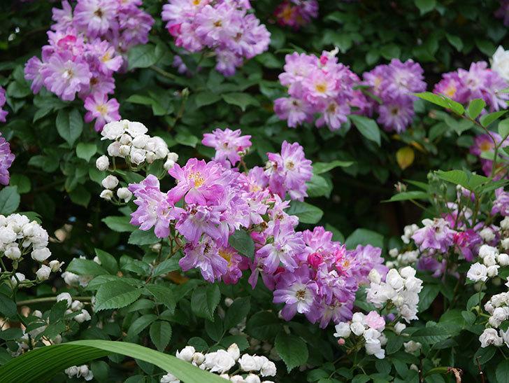 ブルーランブラー(Blue Rambler)の花が満開になった。ツルバラ。2020年-004.jpg