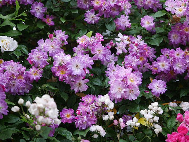 ブルーランブラー(Blue Rambler)の花が満開になった。ツルバラ。2020年-005.jpg