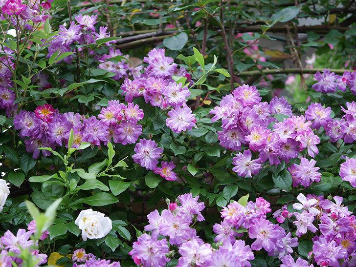ブルーランブラー(Blue Rambler)の花が満開になった。ツルバラ。2020年-006.jpg